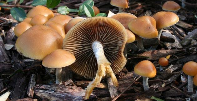 Funghi allucinogeni contro la depressione?