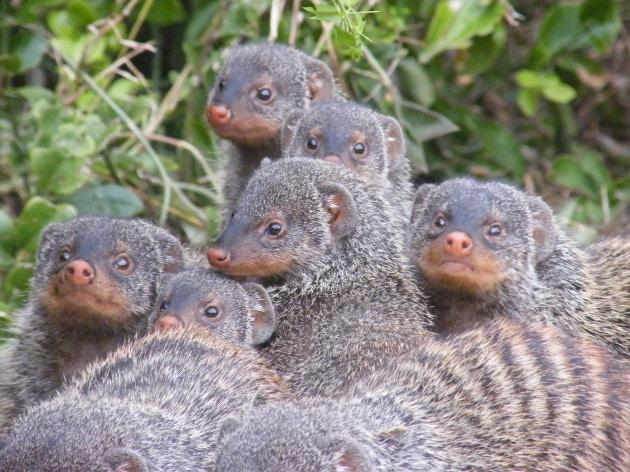 Legami tra consanguinei, la tattica delle manguste