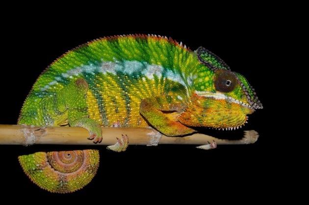 11 nuove specie di camaleonti in Madagascar