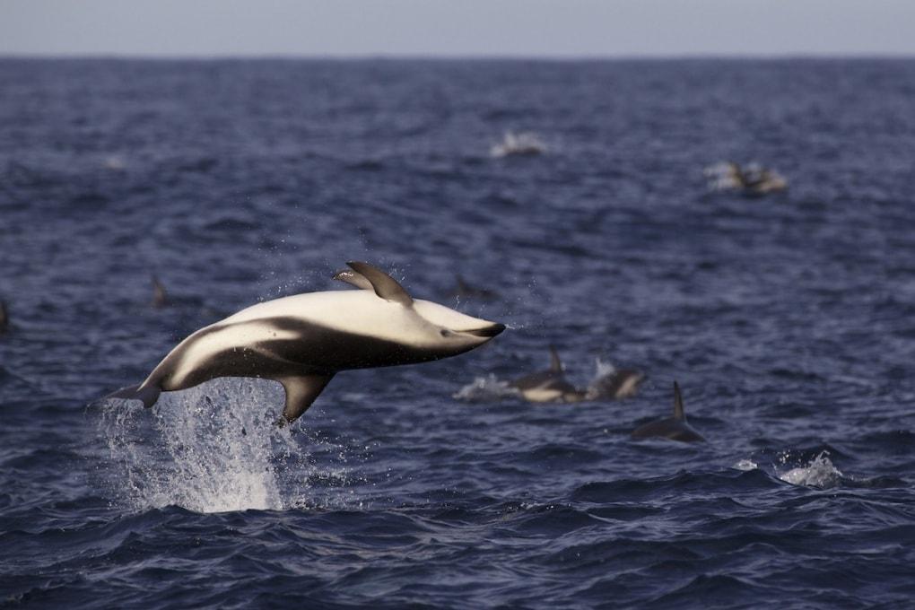 Delfini di Maui: conto alla rovescia per l'estinzione