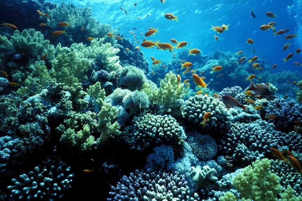 Le larve di pesce seguono i suoni della barriera corallina. Ma solo da vicino