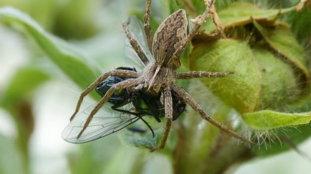 La dote salvavita dei ragni
