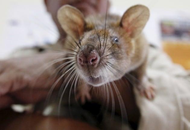 Animali che fiutano le malattie