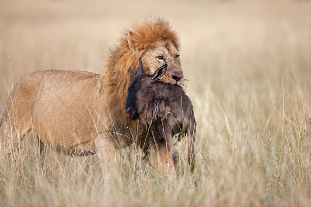 Un leone potrebbe sopravvivere a una dieta vegetariana?