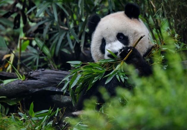 Le femmine di panda cercano l'amore lontano da casa
