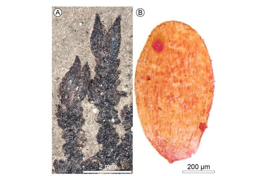 Ecco il fossile del fiore più antico