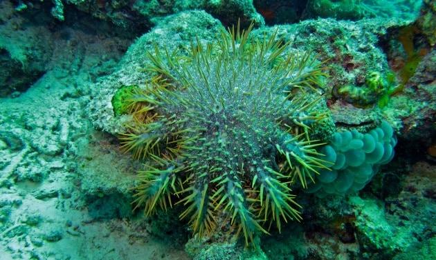 Un robot contro le stelle marine killer di coralli