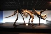 h_9.03796315_triceratopo