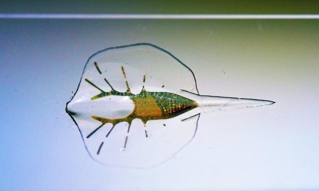 La razza robotica mossa da cellule del cuore