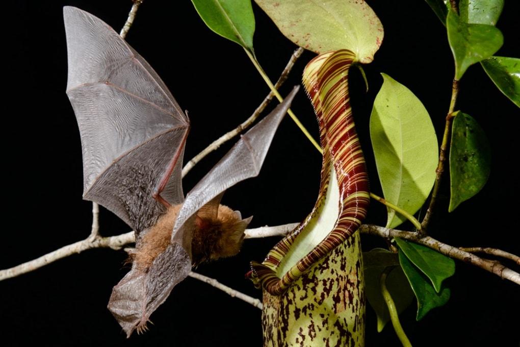 La pianta carnivora che comunica con i pipistrelli