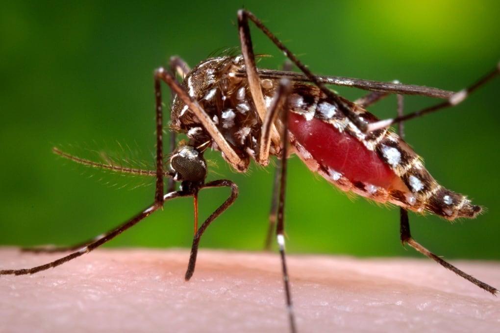 Zanzare geneticamente modificate per combattere la febbre dengue