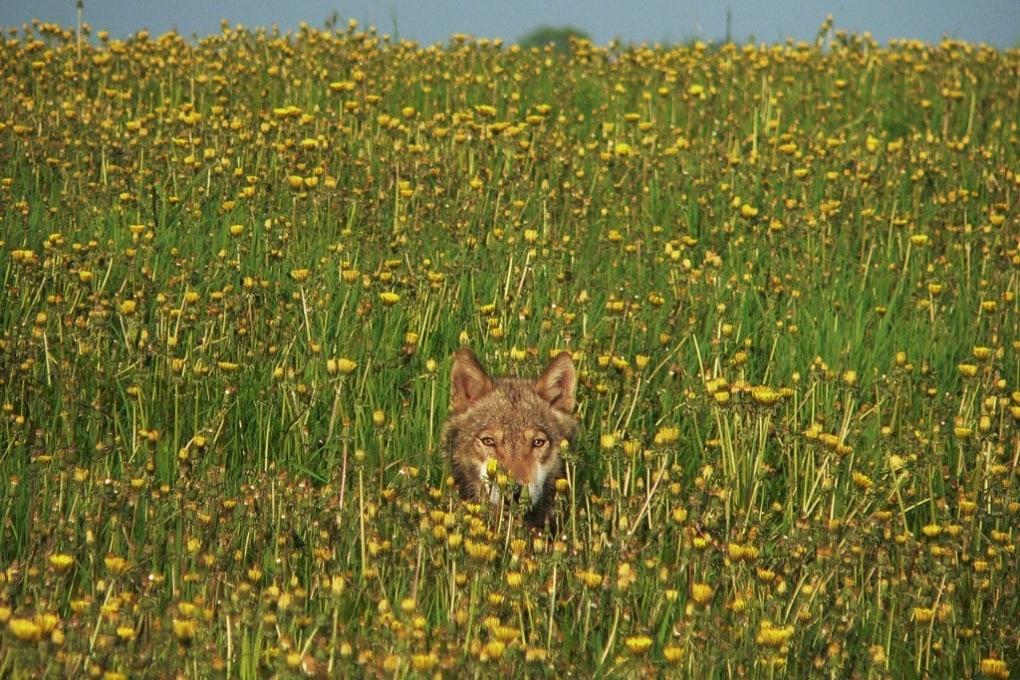 La vita animale prospera attorno a Chernobyl