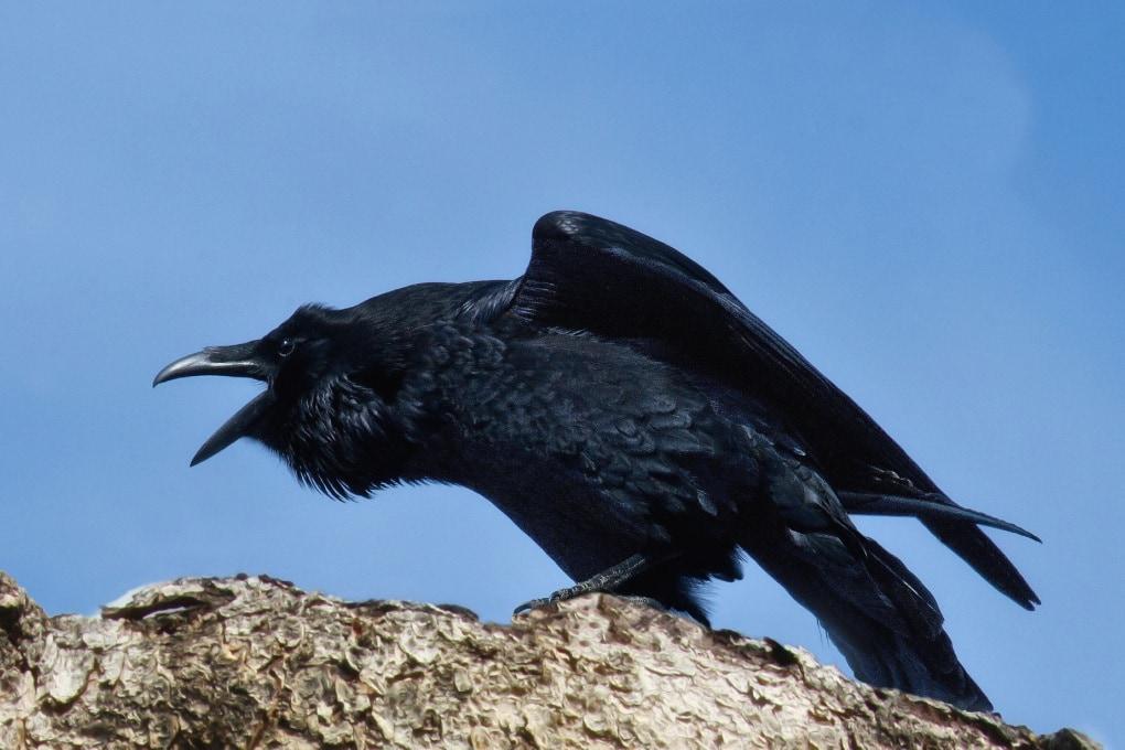 I corvi, come l'uomo, hanno capacità di astrazione