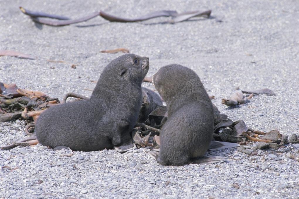 I cuccioli di otaria riconoscono la voce della madre