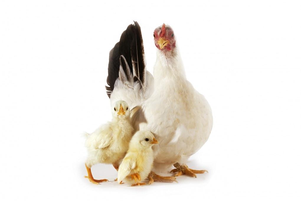 Le chiocce sono davvero brave mamme?