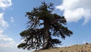 ambiente, natura, alberi, botanica, pini, longevità