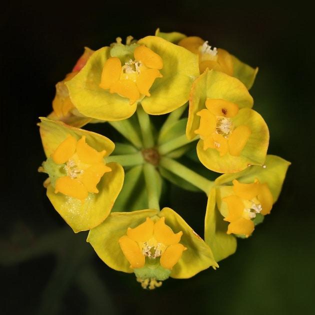 Api senza pungiglione, le piante visitate