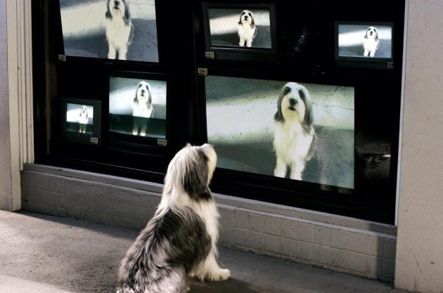 Che cosa vedono i cani quando guardano la TV?