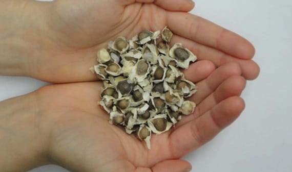 I semi della Moringa oleifera.