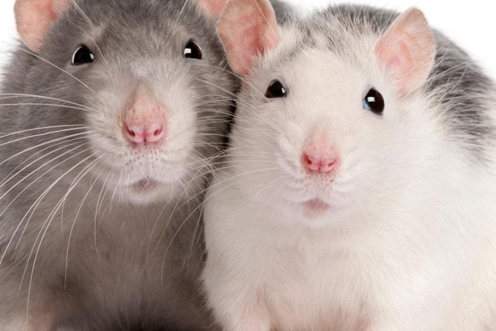 Altruista come un ratto