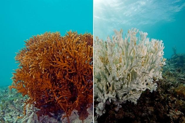 Diminuisce la resistenza al caldo dei coralli