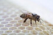 csiro-bee-sensor