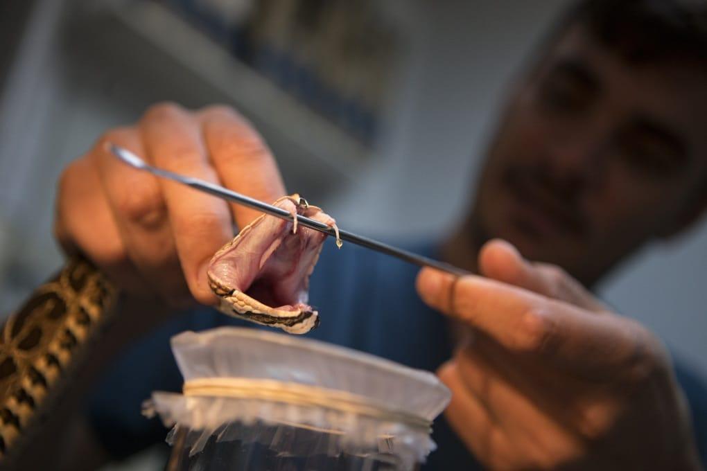 Come si fa l'antidoto al veleno dei serpenti?