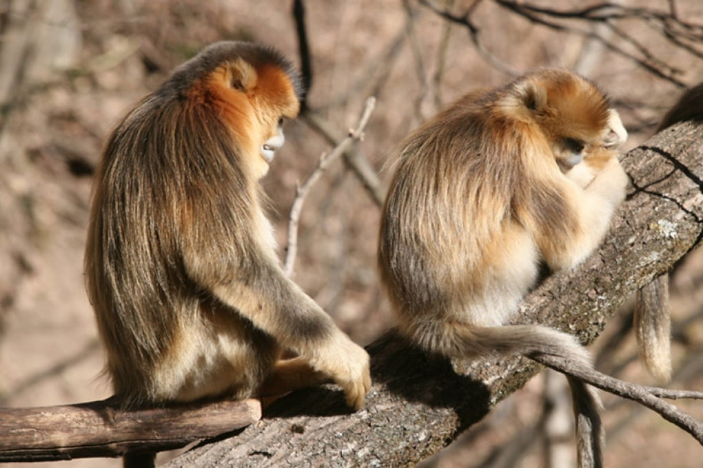 Le veglie funebri delle scimmie