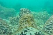 turtle-gopro