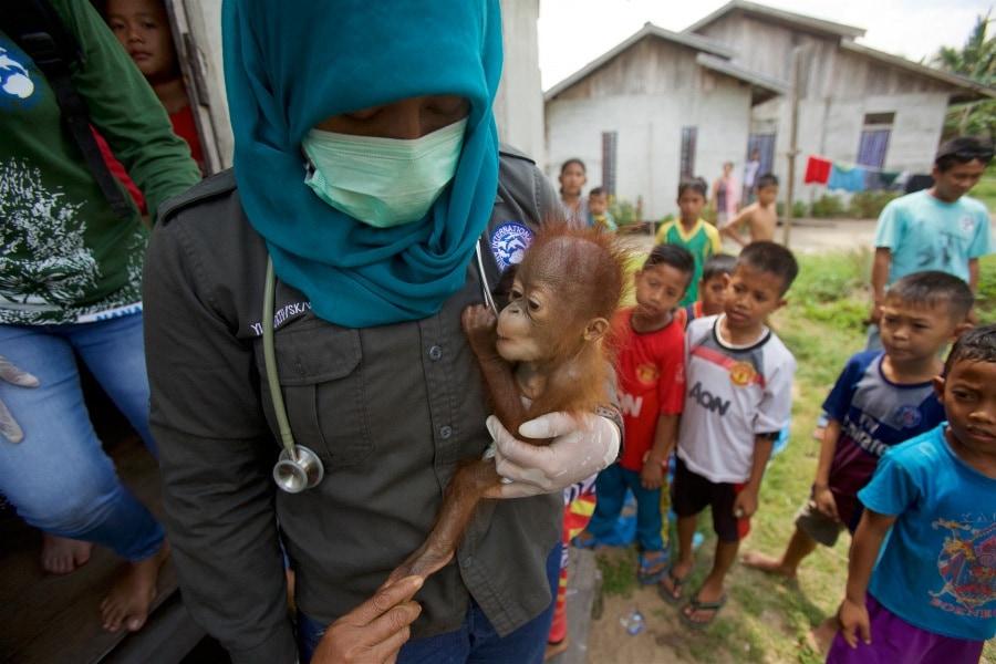 -tim-laman-tough-times-for-orangutans-04