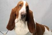 Un cane con le orecchie cadenti sente meno di uno con le orecchie dritte?