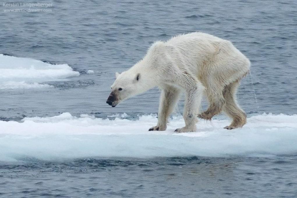 La foto virale dell'orso polare e la sua vera storia