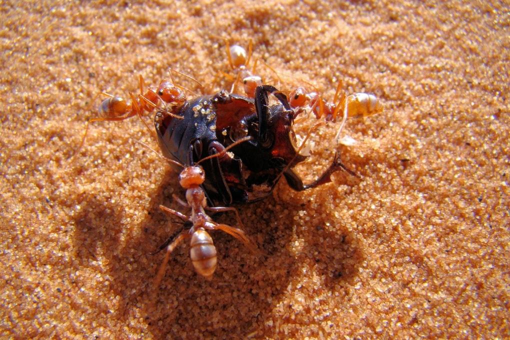 Lo scudo anti-afa delle formiche d'argento