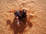saharan_silver_ants_capturing_beetle