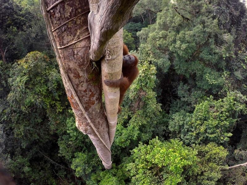 -tim-laman-tough-times-for-orangutans-02