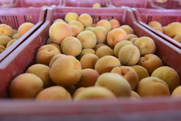 Quante sono le varietà di albicocche?