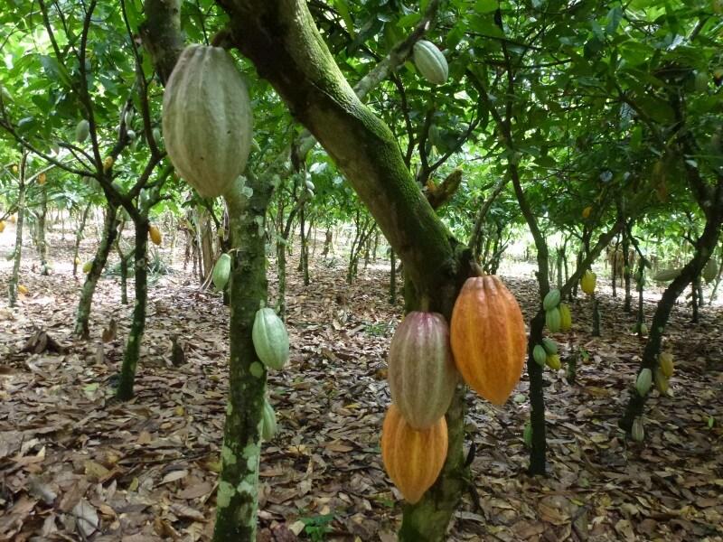 Come Si Coltiva Il Cacao Focusit