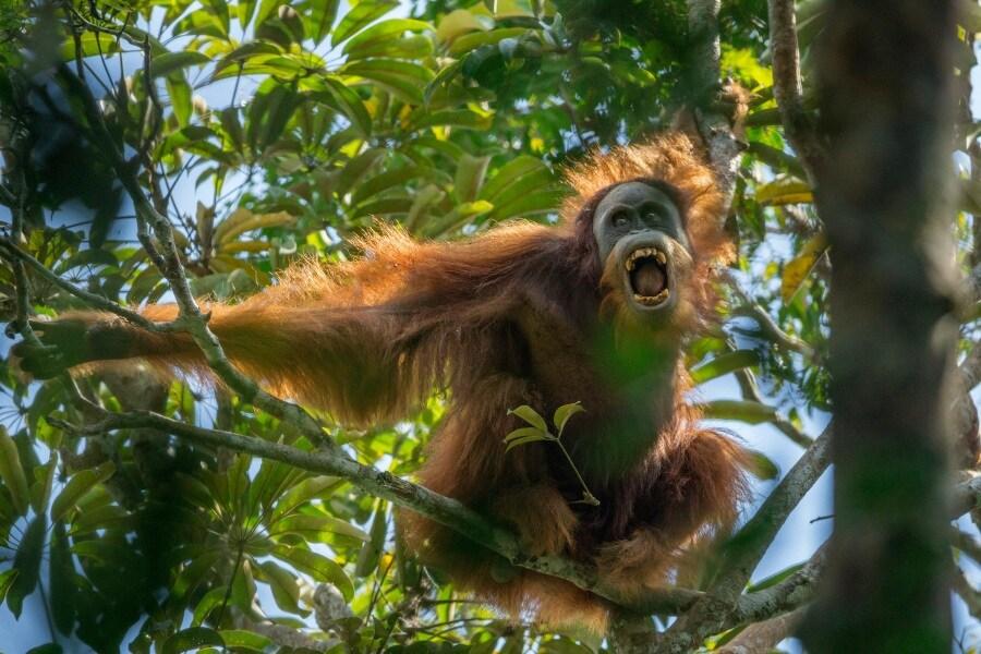 -tim-laman-tough-times-for-orangutans-01