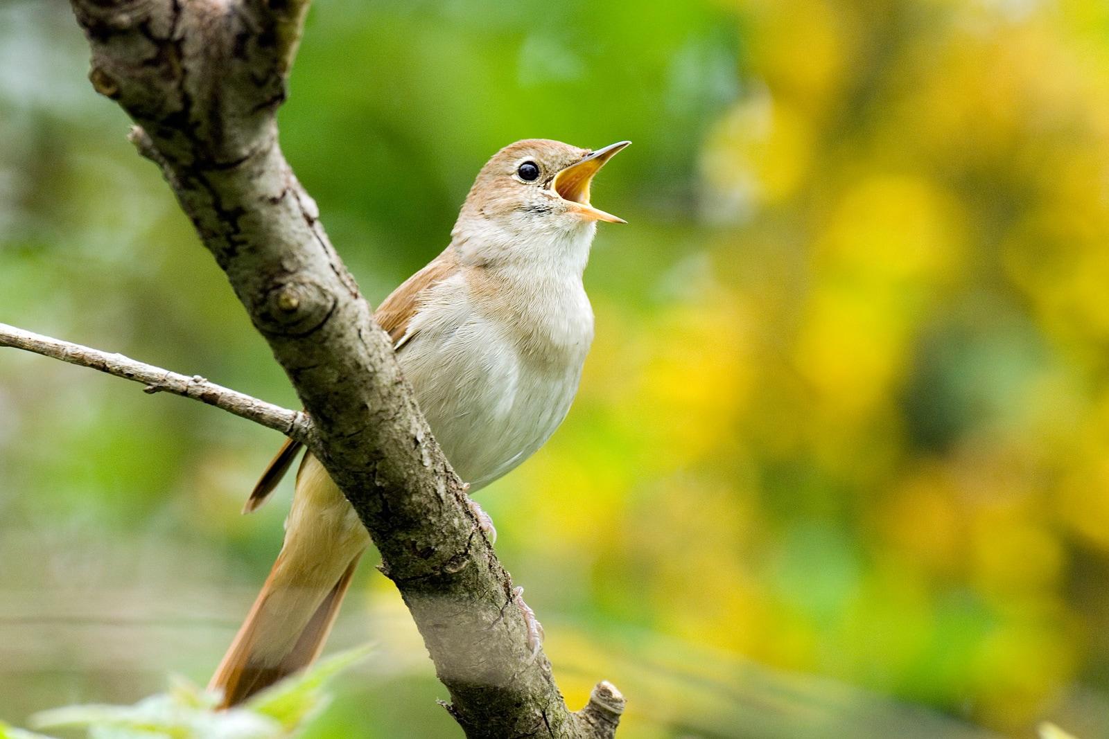 Il canto degli uccelli simile al linguaggio dell 39 uomo - Primavera uccelli primavera colorazione pagine ...