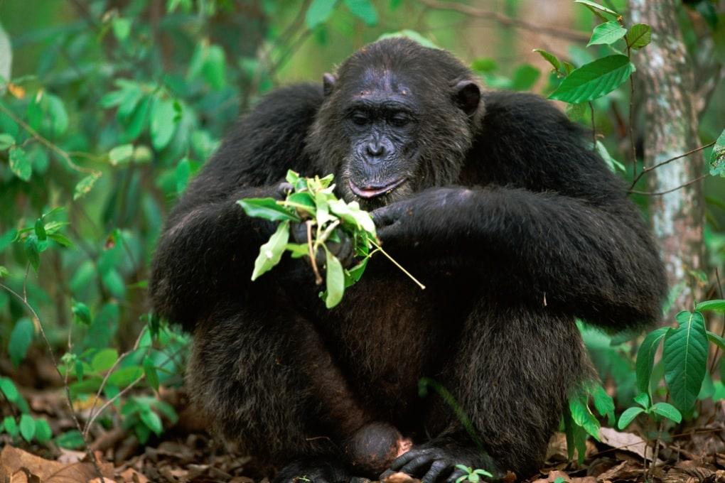 Le più strane forme di automedicazione tra primati