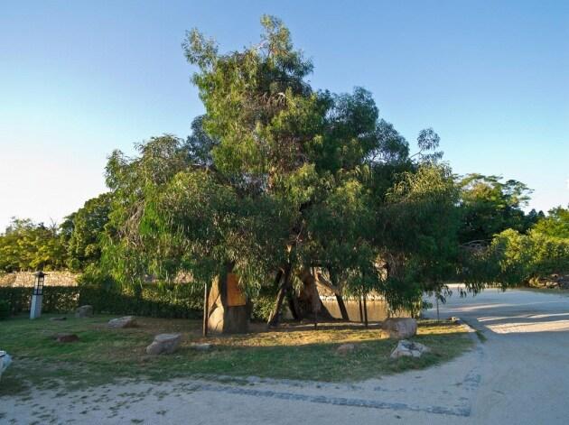 Hibaku jumoku: gli alberi sopravvissuti alla bomba atomica