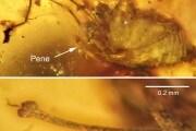 fossilizedpenis-2
