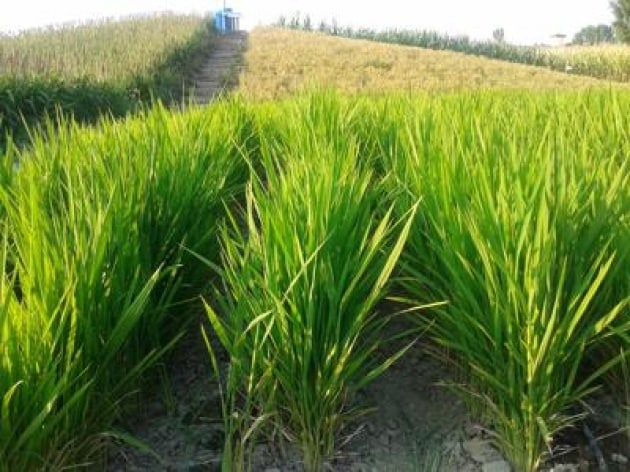 Troppa acqua per il riso consuma tre quarti di quella for Irrigazione per sommersione