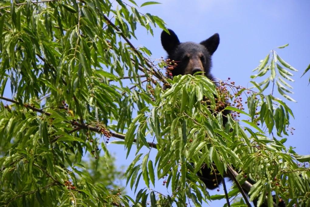 Gli orsi aiutano i ciliegi a scalare le montagne