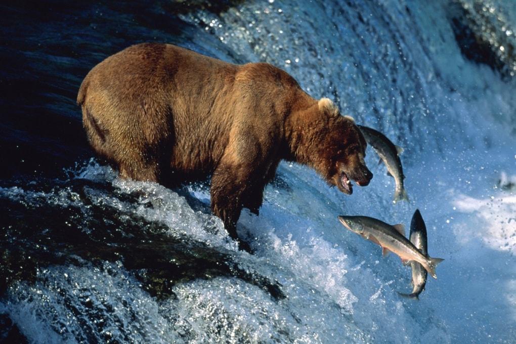 Orsi a caccia di salmoni: guardali in diretta