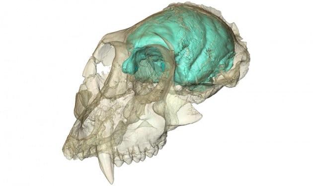 Un antico e complesso cervello di scimmia