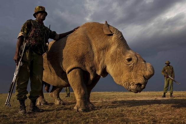 L'ultimo maschio di rinoceronte settentrionale bianco rimasto sulla Terra
