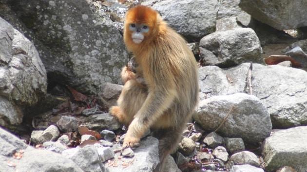 Le incredibili foto della scimmia levatrice