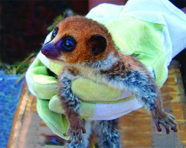 1-cheirogaleus-lavasoensis-lemur