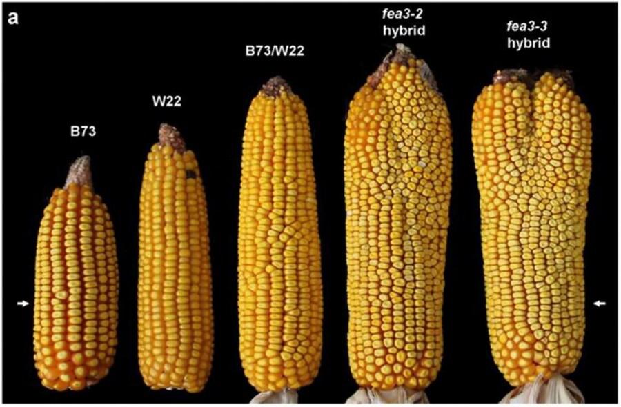 6-fea3-mutation-corn-1